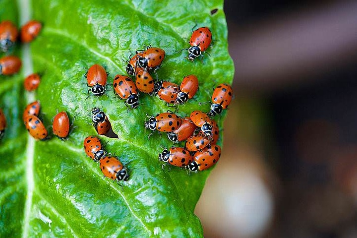 Help, I have ladybugs in my house!