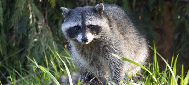 What You Need to Know if You See a Raccoon During Daylight