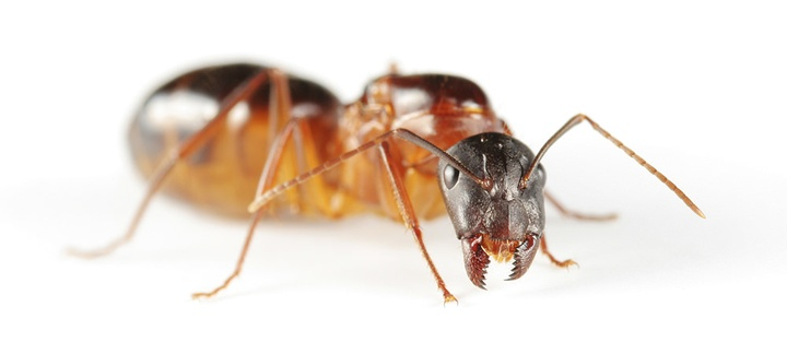 Pest Profiles - Guests You Do Not Want Coming Over For Dinner: The Carpenter Ant