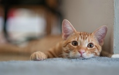 What is FIV and how does it affect cats?