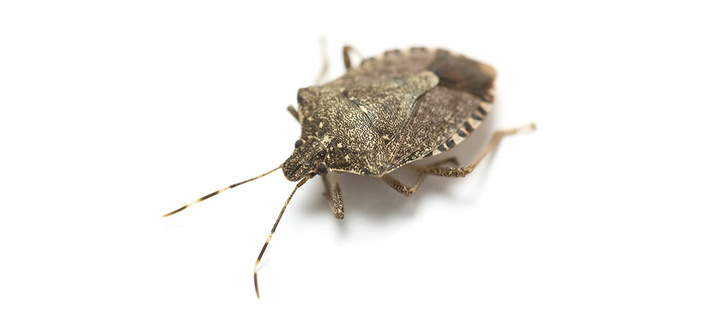 Did winter mean the end of the Stink Bug?