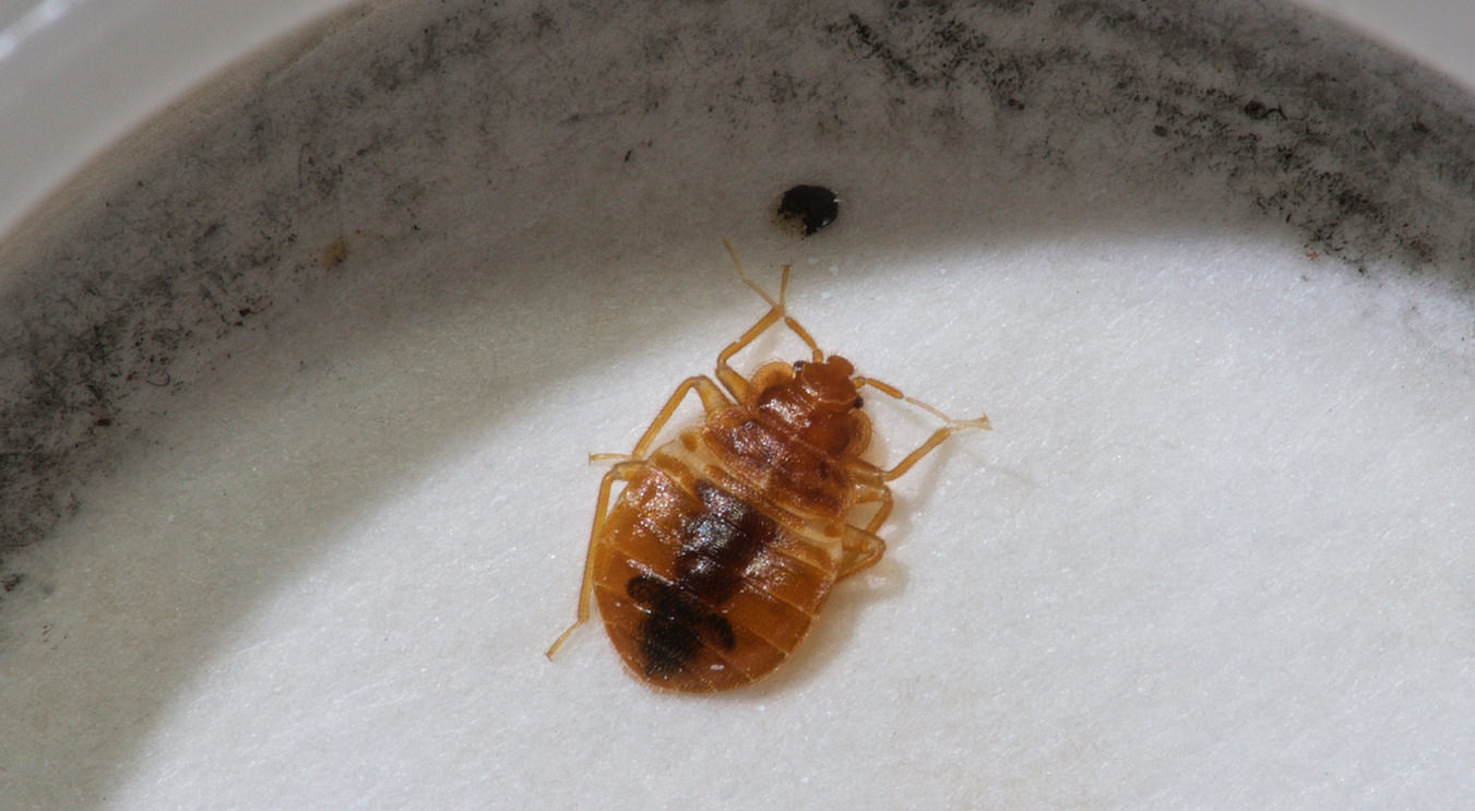 Bed Bugs in New Jersey