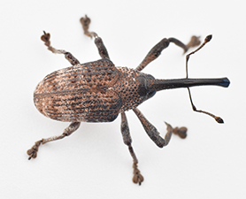 Weevil Control New Jersey