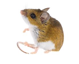 Brown Mice