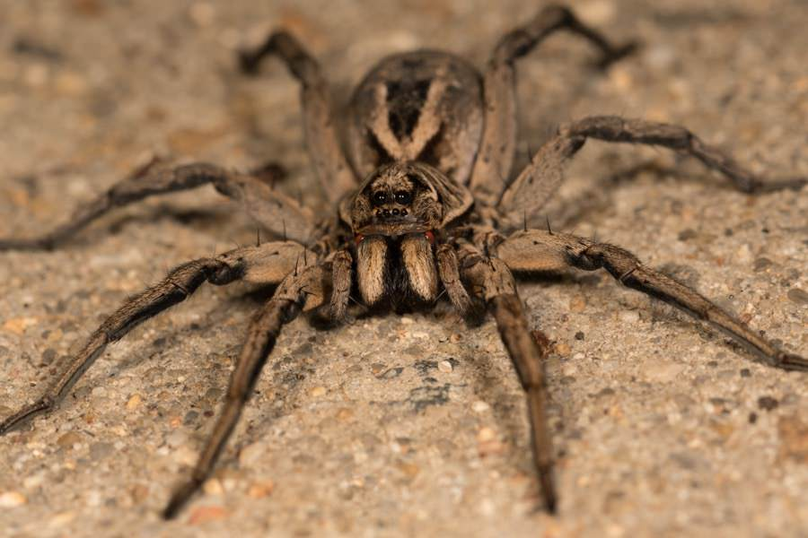 Wolf Spider Control New Jersey