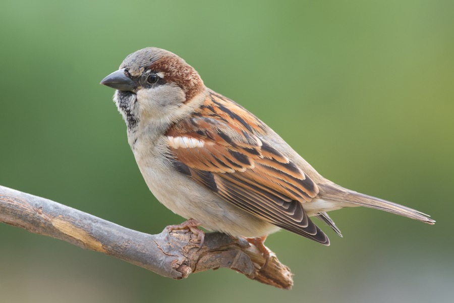 Sparrow Control in New Jersey