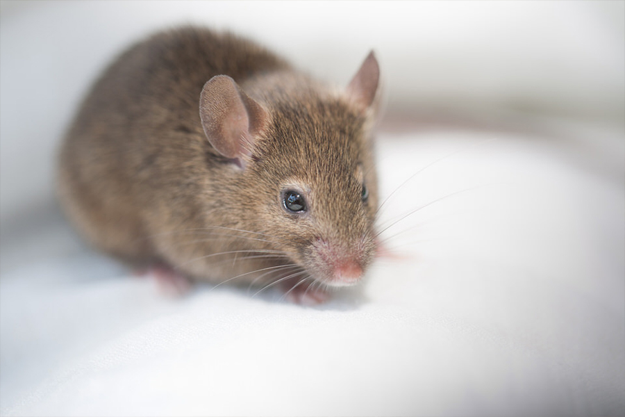 Brown Mice Control in New Jersey