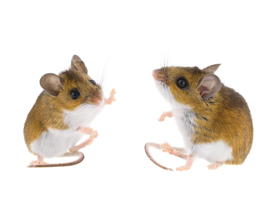Deer Mice Control New Jersey