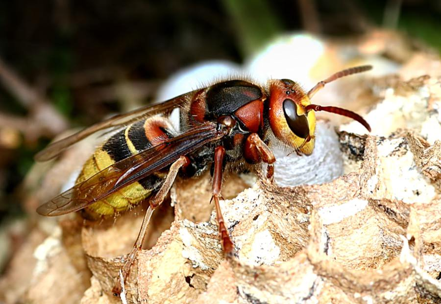 Hornet Control in New Jersey