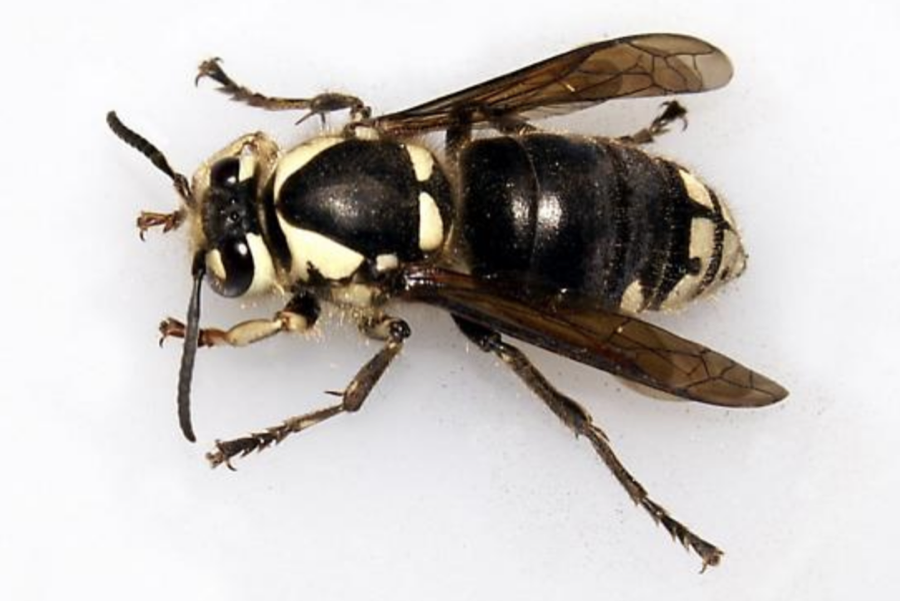 Bald-Faced Hornet Control in New Jersey