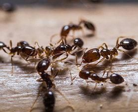 Household Ant Control in New Jersey