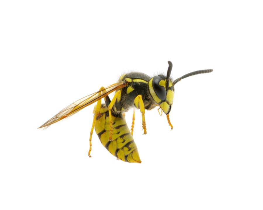 Yellowjacket Control in New Jersey
