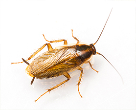 German Cockroach Control in New Jersey