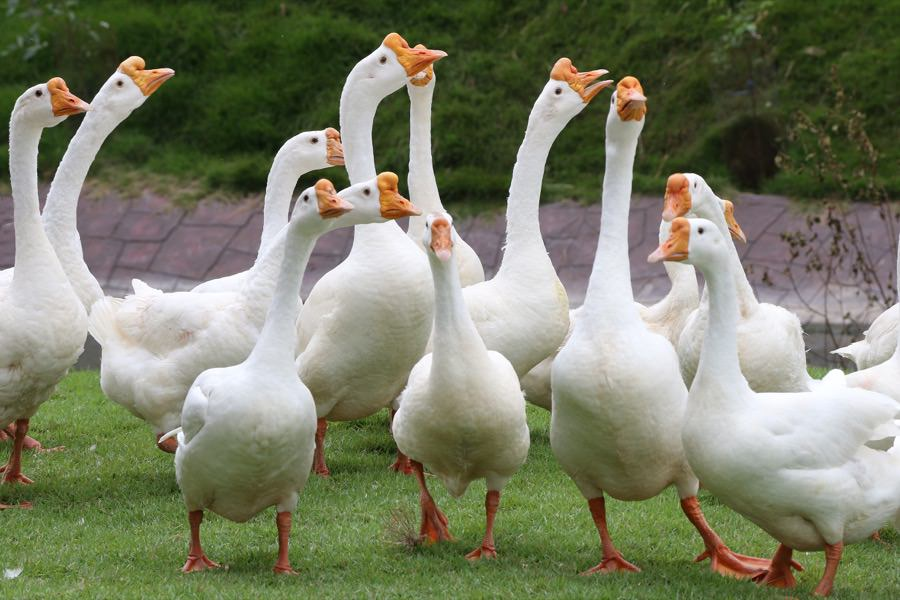 Geese Control New Jersey