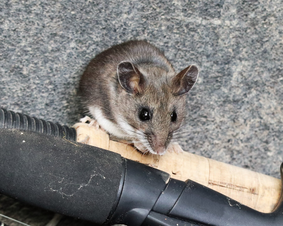 Brown Mice Control New Jersey