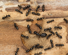 Carpenter Ant Control in New Jersey