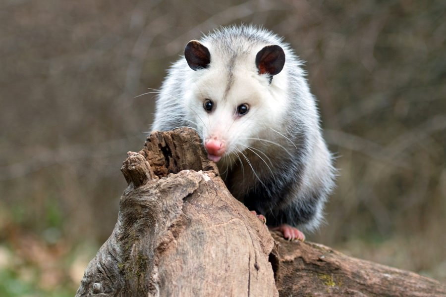 Possum Control in New Jersey