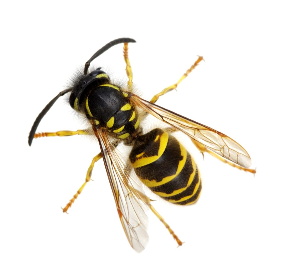 Wasp Control in New Jersey