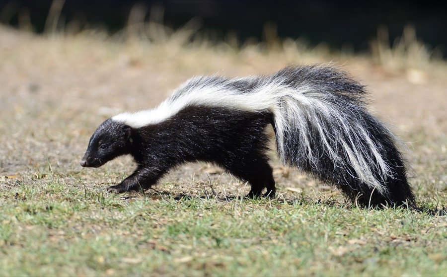 Skunk Control in New Jersey