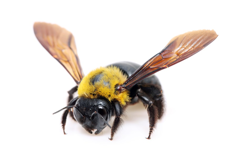 Carpenter Bee Control in New Jersey