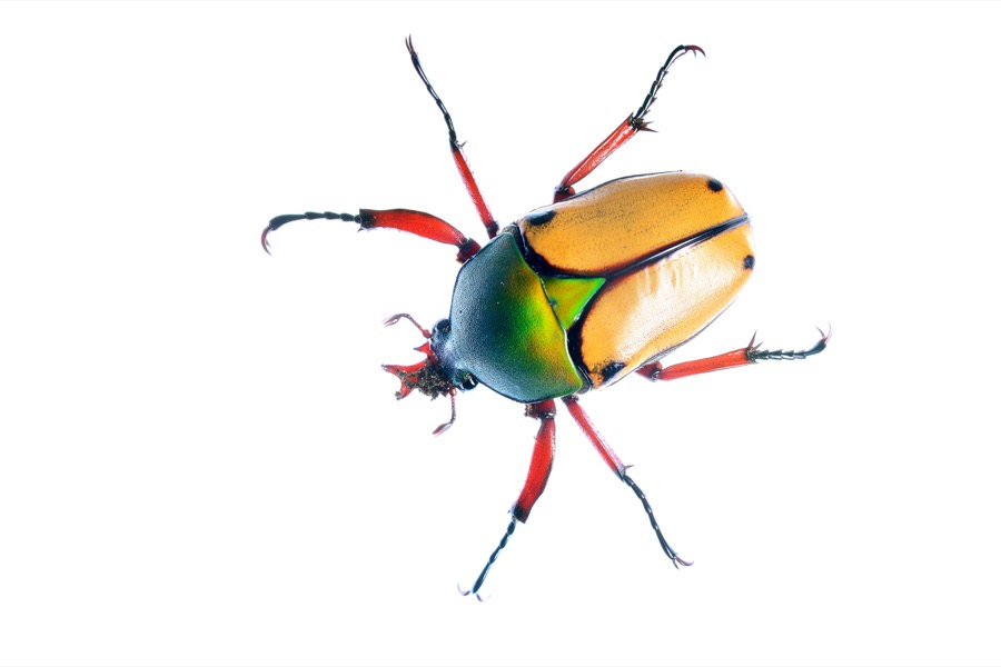 Flower Beetle Control in New Jersey