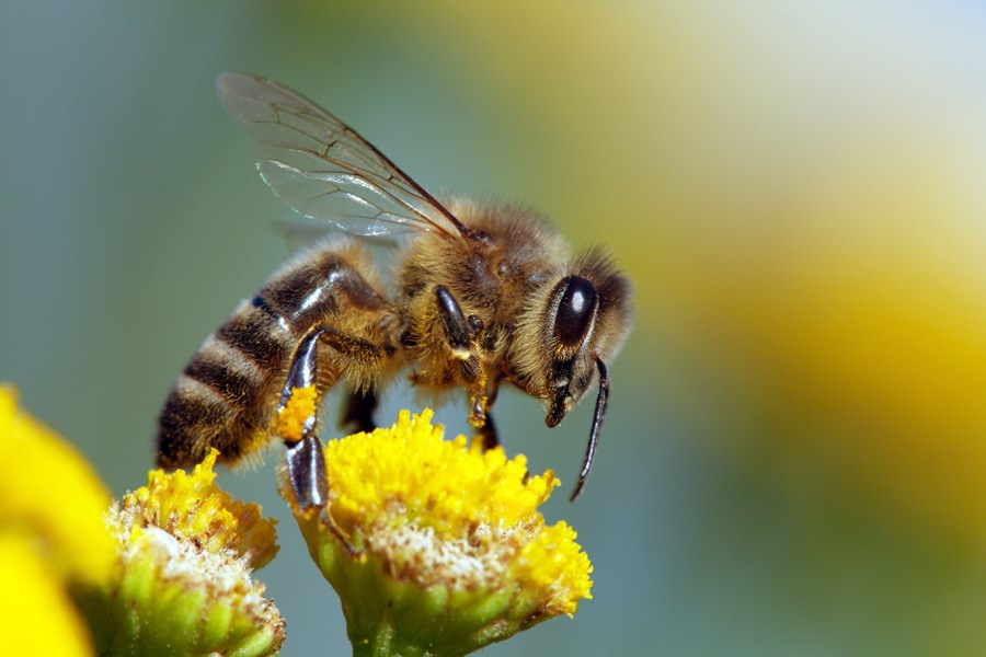 Honeybee Control in New Jersey