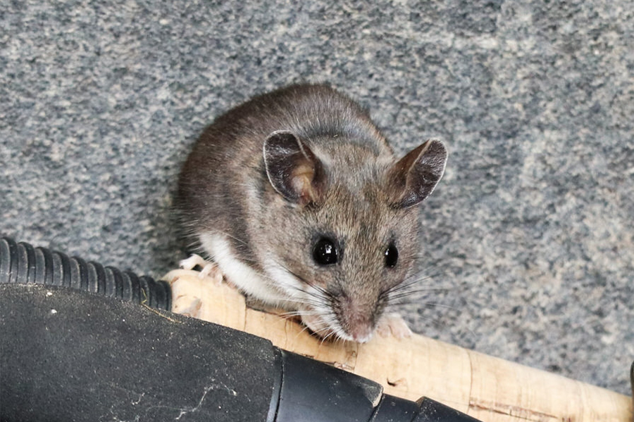 Deer Mice Control in New Jersey